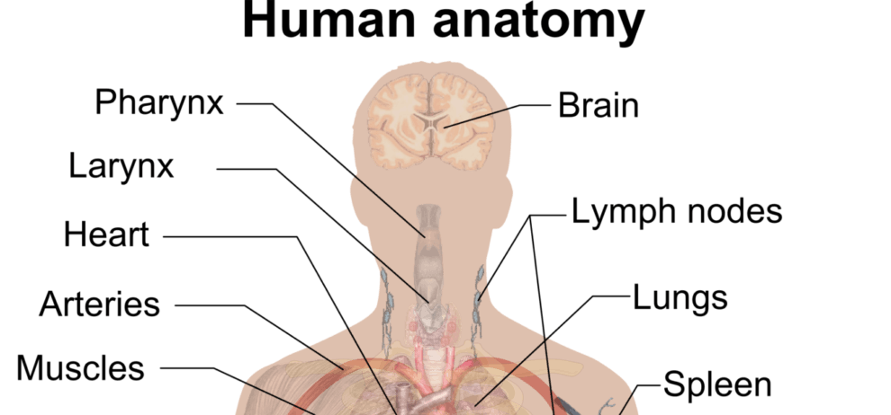 Free Anatomy Project Topics and Materials PDF